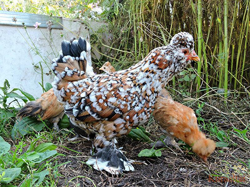 Алтайская (барнаульская) бентамка