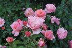 IMG_5293.JPG  роза флорибунда Мари Кюри (Marie Curie) Meilland 1997