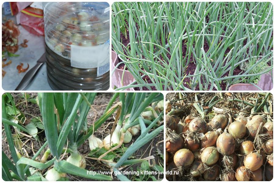 Выращивание лука из головок 930