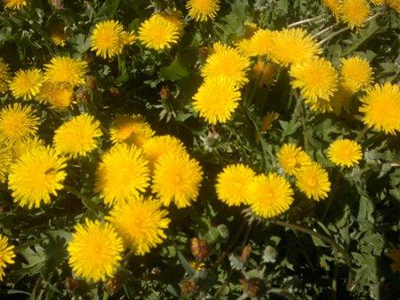 одуванчик-первый весенний цветок-1.jpg