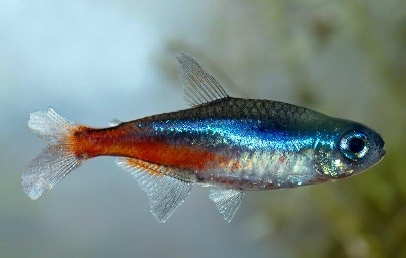 Самые неприхотливые аквариумные рыбы