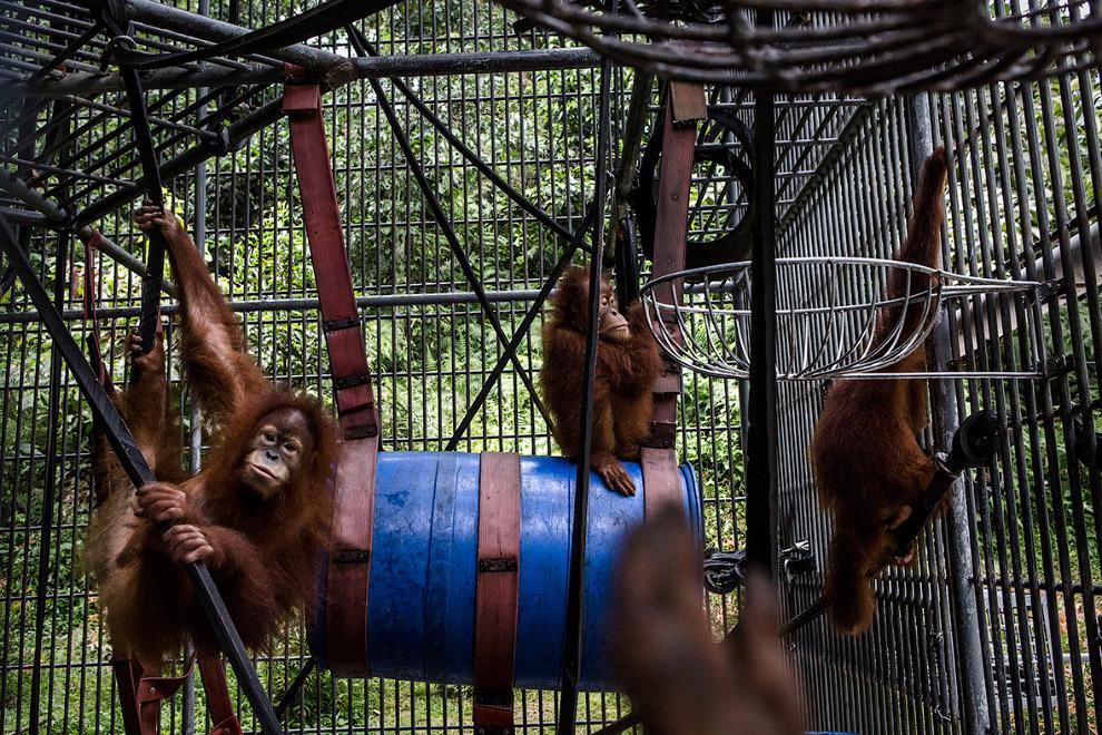 Ранее орангутаны обитали по всей Юго-Восточной Азии, а в наши дни только на Борнео и Суматре. (