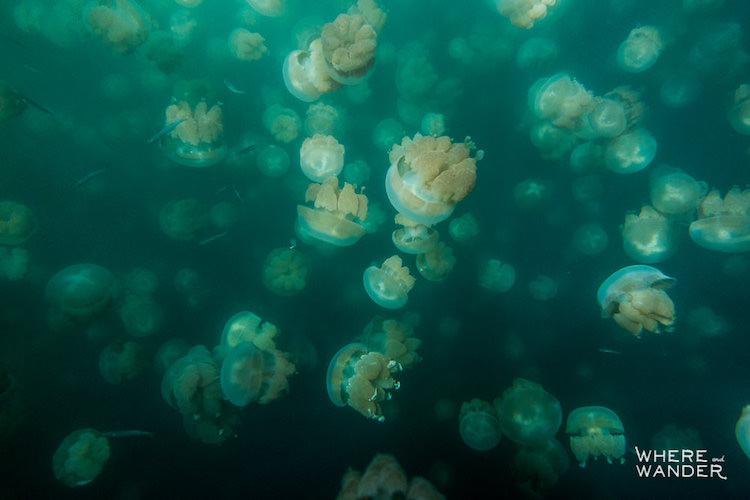 По этой причине озеро Медуз наводнено туристами.