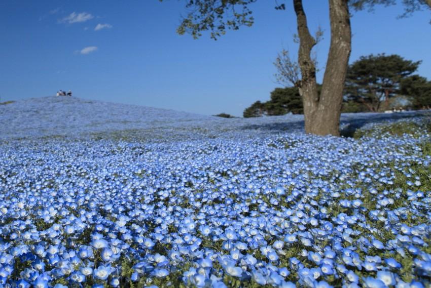 13. Парк Хитачи, Япония Национальный парк занимает 120 га. С весны до конца осени весь парк покрыт р