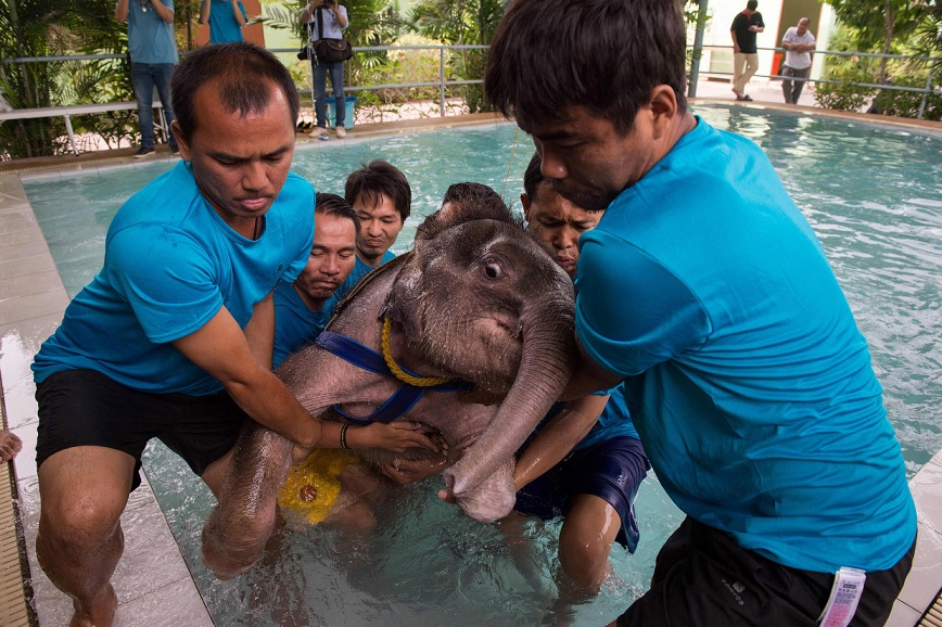 Но прежде чем Фа Джам смогла ступить на все четыре лапы, она провела множество часов в бассейне.