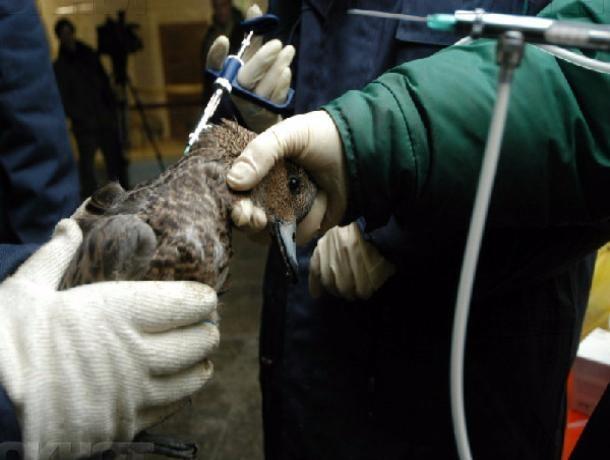 НаДону проведут вакцинацию против гриппа птиц вличных ифермерских хозяйствах