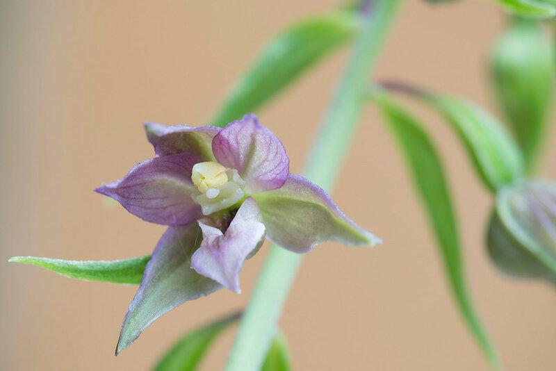 Дремлик чемерицевидный - Epipactis helleborine (Orchidaceae)