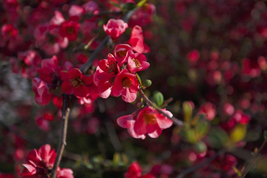 Цветение японской айвы в Крыму