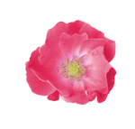 Palvinka_FlowerEssence_flower5.png