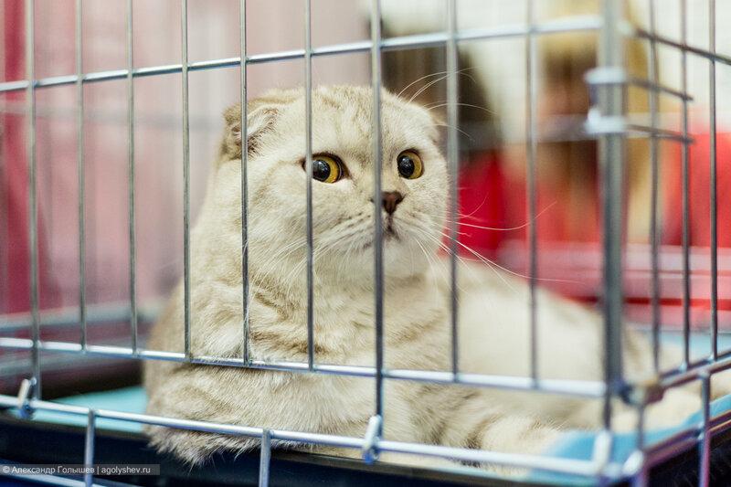 Выставка кошек Золотая осень Вятки