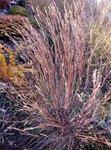 схизахириум метельчатый  Schizachyrium scoparium blue heaven