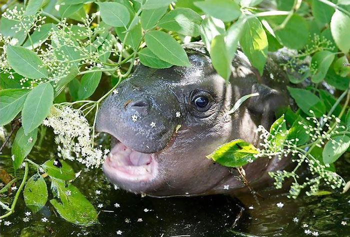 Фотоподборка очаровательных малышей-бегемотов