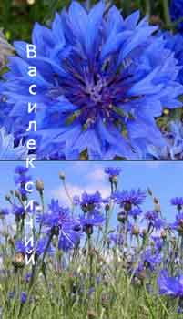 трава василек синий