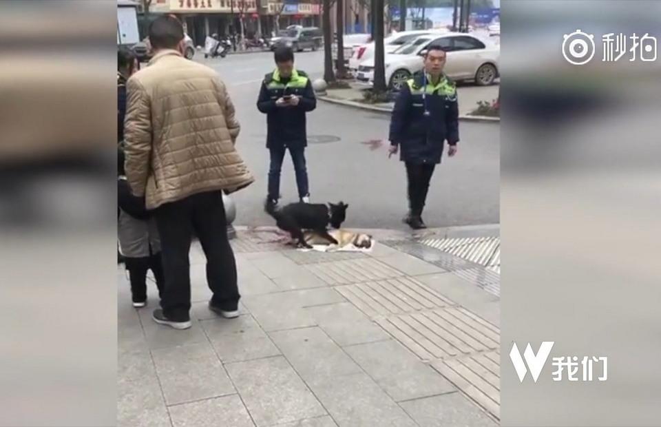 Душераздирающее видео: пёс пытается «разбудить» сбитого машиной товарища