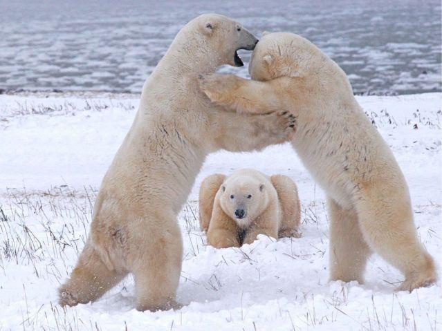 День полярного медведя. Соперники