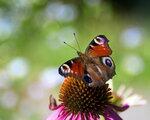 Влюбилась бабочка в цветок