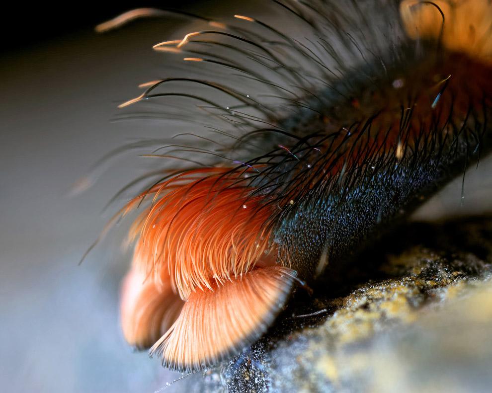 13. Мохнатая паучья лапа. (Фото Michael Pankratz):