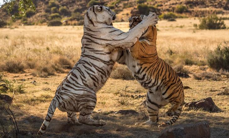 2. Тигр является крупнейшей и самой тяжёлой из диких кошек, но различные его подвиды сильно различаю