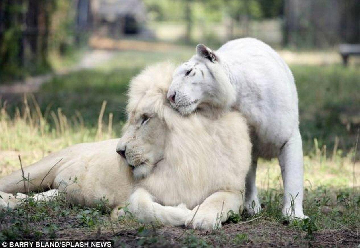 У белых льва и тигрицы в одном из зоопарков Великобритании появились маленькие лигрята