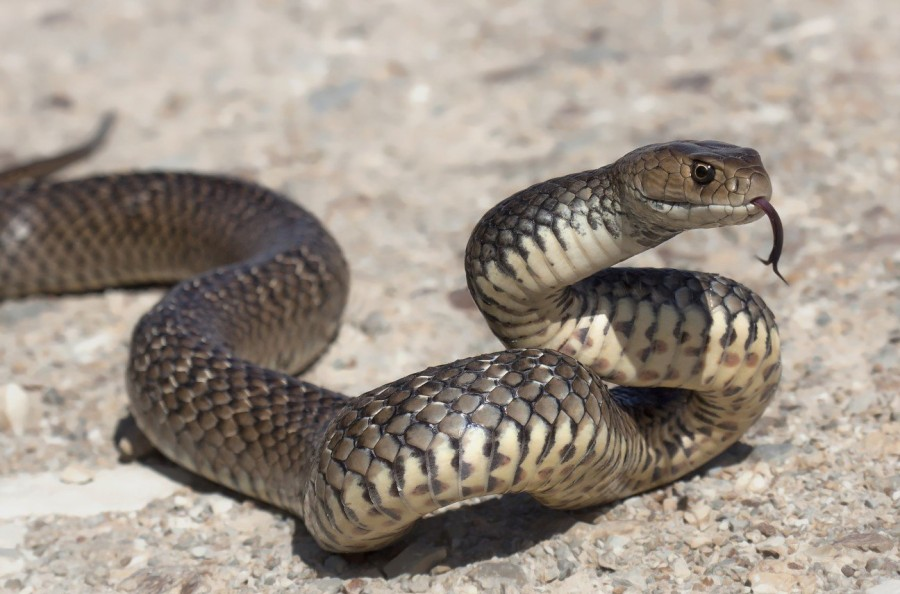 1. Австралийские змеи В Австралии насчитывается около 140 видов наземных змей, которые ежегодно унос