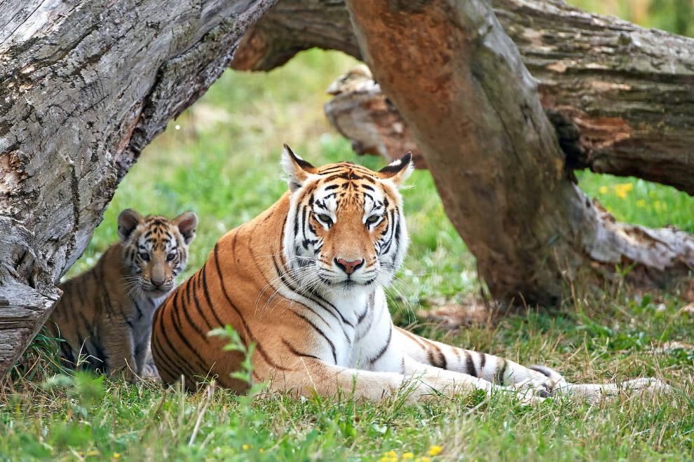 7. Охота на тигров запрещена во всех странах, где они обитают. Однако, браконьеры все еще умудр