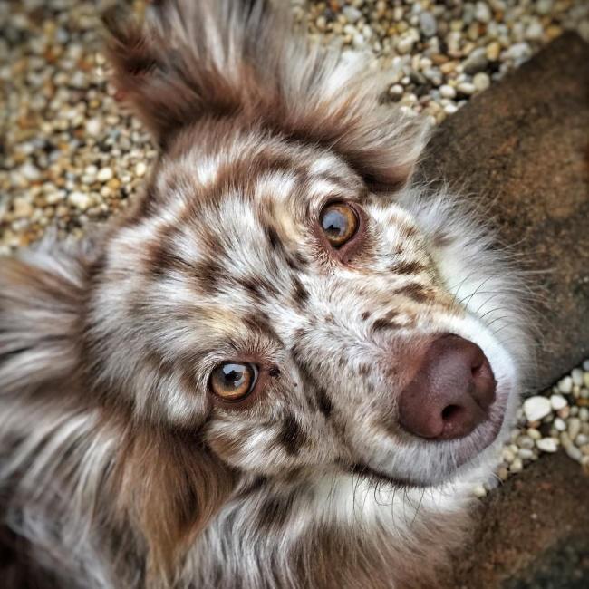 Засвое очарование эта собака может поблагодарить родителей— померанского шпица иавстралийскую овч