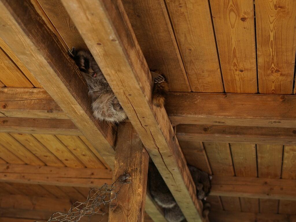 Еноты под потолком в зоопарке. Сафари-парк, Геленджик.