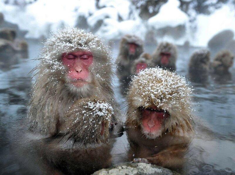 Снежные обзьяны макаки Япония Нагано Jigokudani Yaen-koen горячий источник.jpg