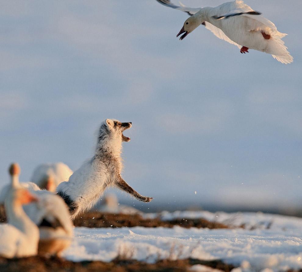 6. Овцебыки. Около 3,5 млн лет назад, когда климат стал заметно холоднее, предки овцебыков спустилис