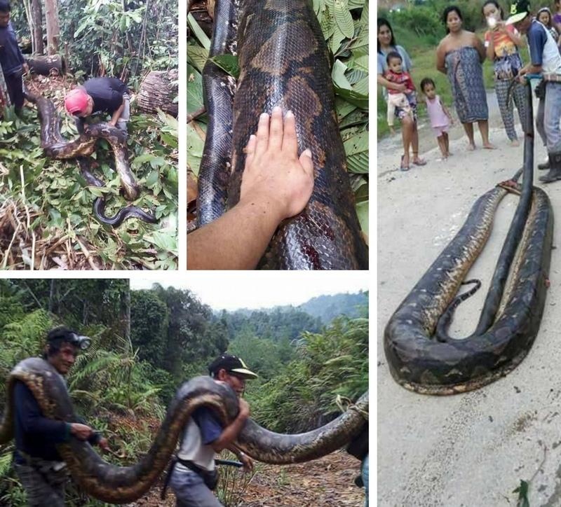 Голодные жители малайской деревни поймали необычную пару питонов