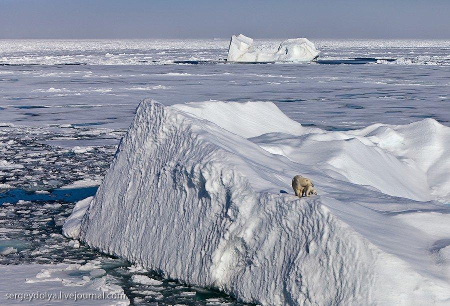 медведи путешествия белые медведи атомные ледоколы Удивительные места северная путешествие