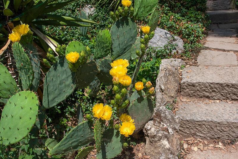 Кактус цветет. Никитский ботанический сад