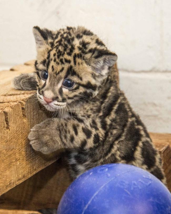 Леопард отлично лазает по деревьям, нередко устраиваясь там на дневной отдых или в засаду, а порой д
