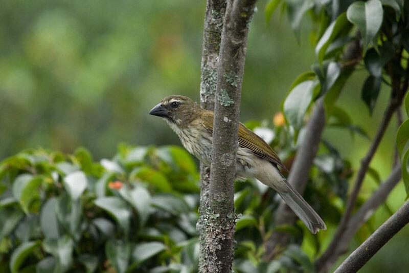 Пёстрый сальтатор (Saltator striatipectus)