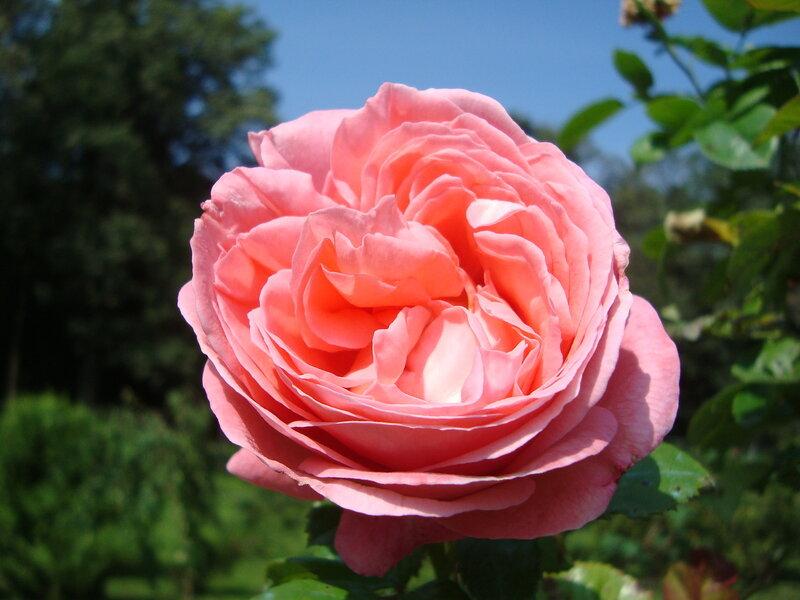 Роза Kore.