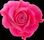 NLD Rose 3b.png