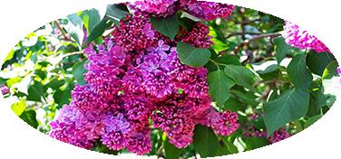 Сиреневый-сад-2.png