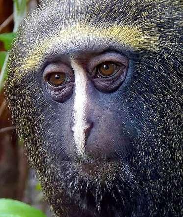 Совиная обезьяна