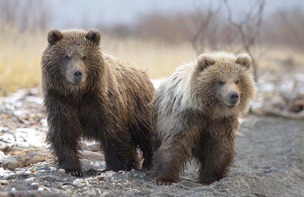 Медвежья услуга - когда успеваешь сфотографировать и тебя не сожрали