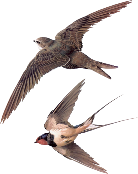 Birds45 (swallows)_dhedey.png