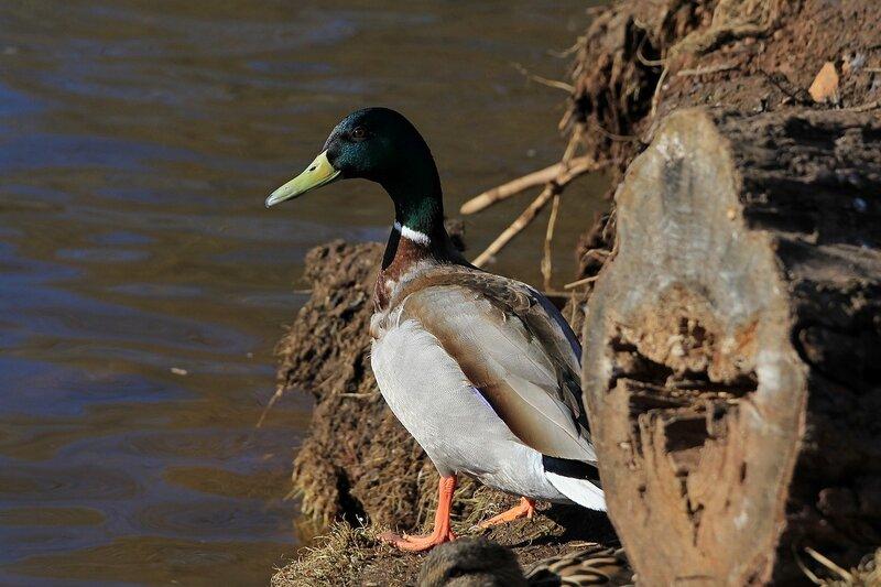 Селезень кряквы (Anas platyrhynchos) на берегу пруда