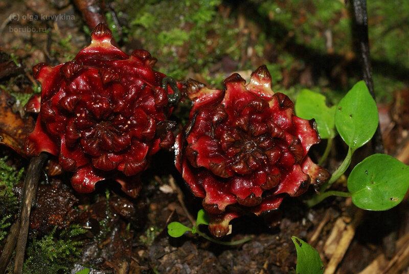 Земляной фикус (Ficus uncinata var. strigosa?)