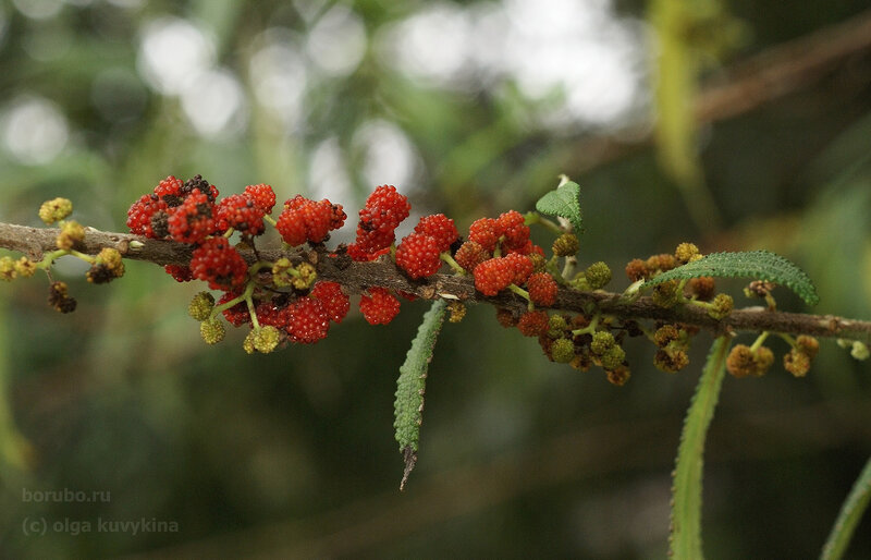 Дебрегезия (Debregeasia sp.),  семейство Крапивные