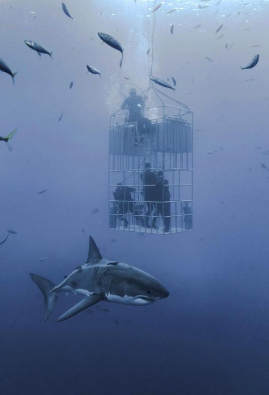 акулы дайверы дайвинг Фотография хищники