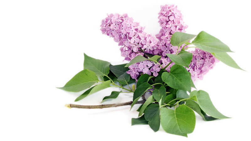 Lilac flower with green leaves on white