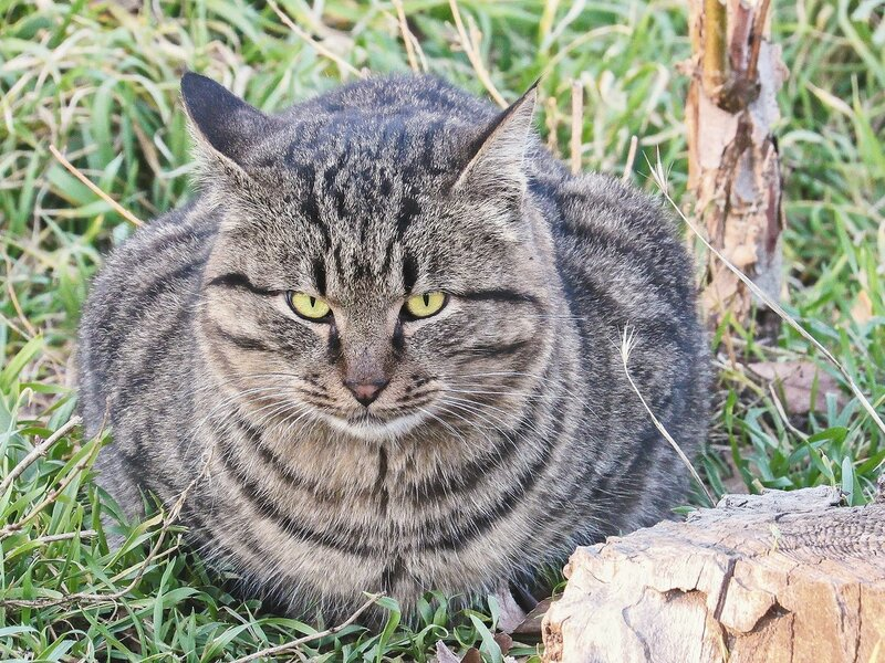 Полудикий степной кот