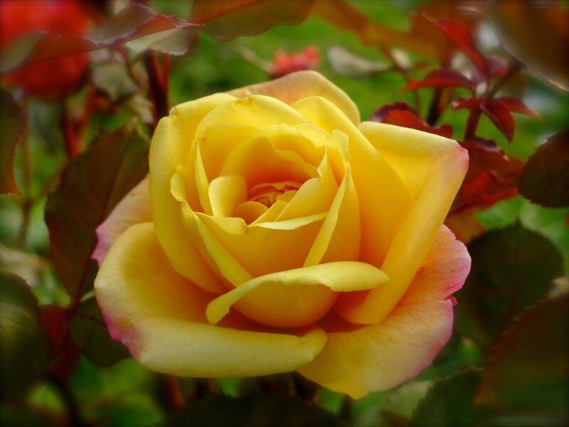 Роза Strike It Rich