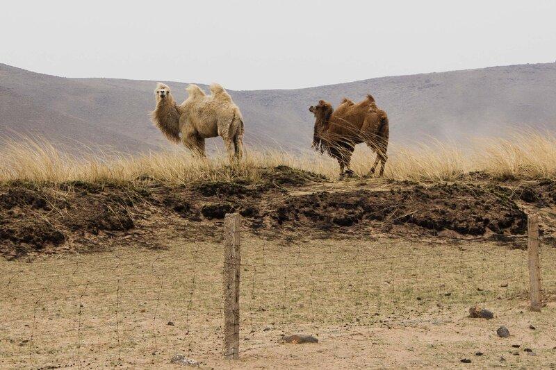 двугорбые верблюды во внутренней монголии, китай