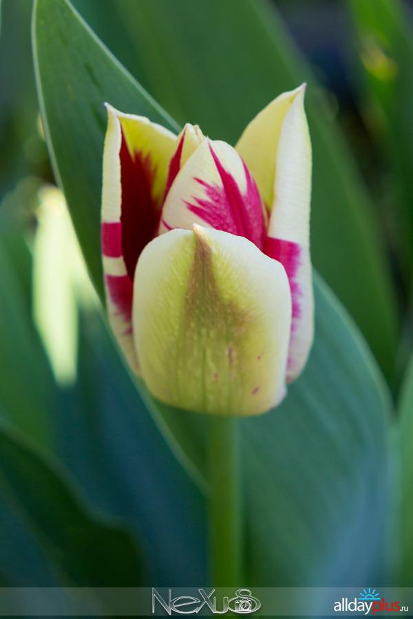 Я люблю все цветы, выпуск 162 | Тюльпаны «Helmar» и «Shirley».