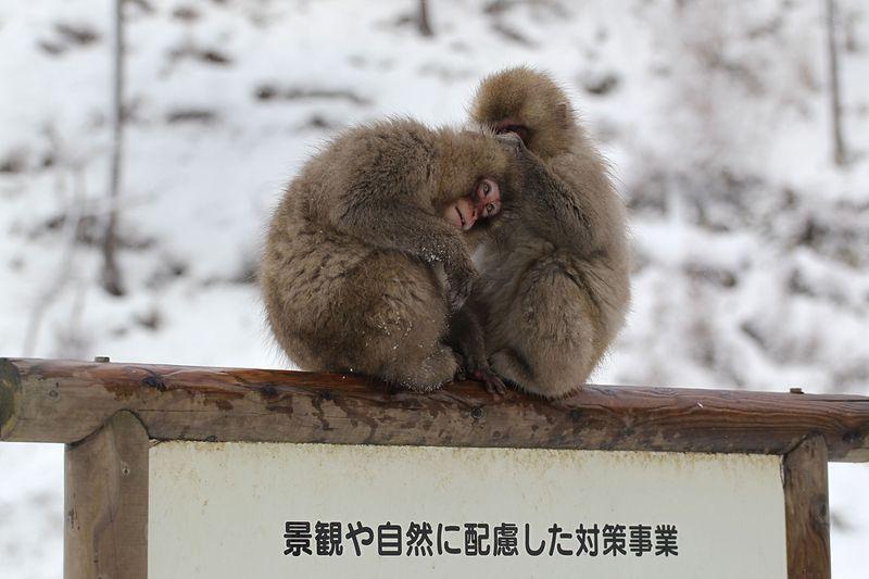 Японские макаки в горячих источниках Адской долины